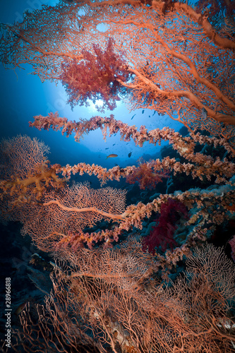 Sea fan and marine life in the Red Sea.