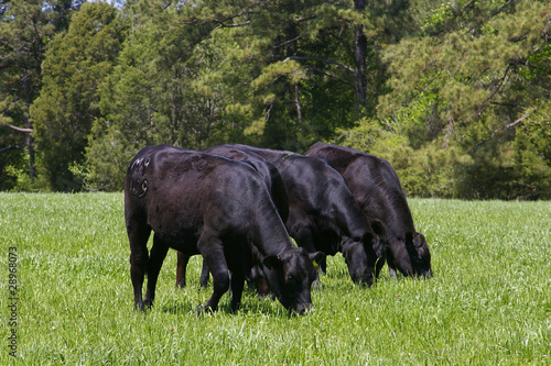 Foto op Canvas Koe Black Angus