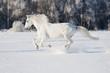 Leinwandbild Motiv white horse runs gallop