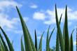 pointes d'aloe vera sur fond de ciel bleu