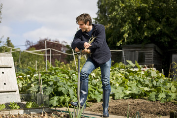 A young man pulling up onions on an allotment