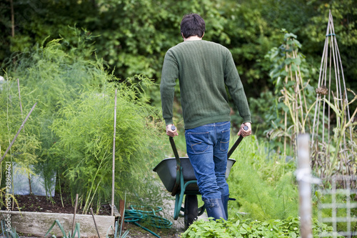 A man pushing a wheelbarrow on an allotment, rear view
