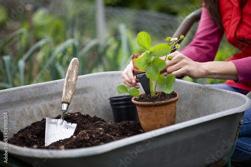A woman potting strawberry plants