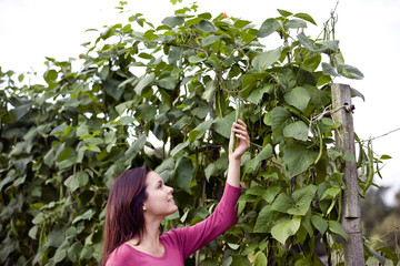 A young woman picking runner beans on an allotment