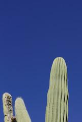 kaktus 8