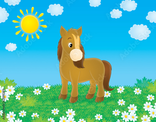 Brown pony walks in a field with chamomiles in sunny day