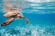 canvas print picture - Hawksbill sea turtle