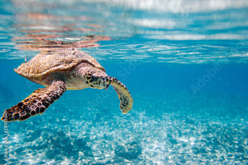 In de dag Schildpad Hawksbill sea turtle