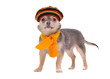 Chihuahua puppy with rastafarian hat and yellow scarf