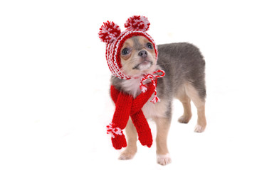 Chihuahua puppy with hat with funny pompons