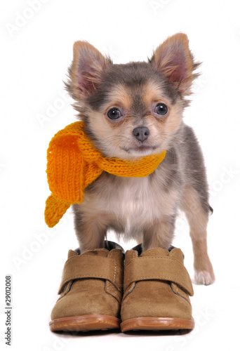 Fotobehang Dragen Chihuahua puppy with boots and yellow scarf