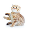 Striped scotish kitten fold pure breed sitting isolated