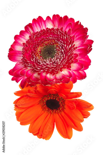 natural red and orange gerbera
