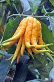 Mano di Buddah - Citrus medica var. sarcodactylis poster