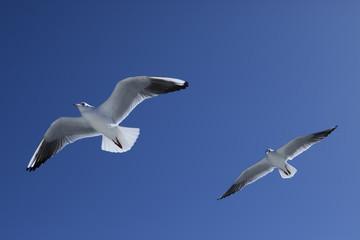 2羽のカモメが空を飛ぶ