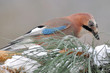 beautiful jay bird