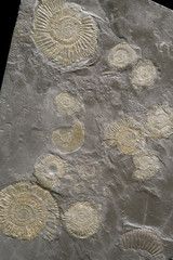 A group of fossilized ammonites.