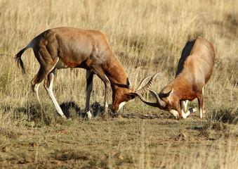 Sparing Male Bontebok