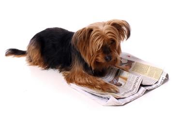 Hund Yorkshire Terrier liest Zeitung