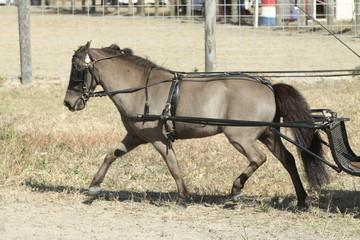 Mini horse in harness