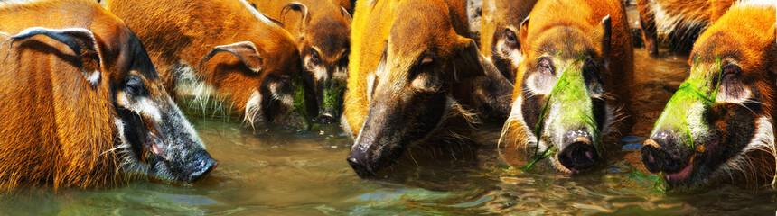 gruppe Pinselohrschweine  (Potamochoerus porcus)