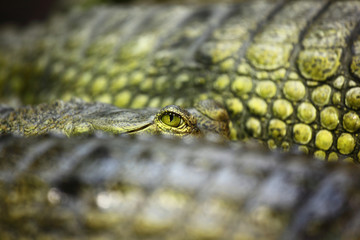 gavial crocodile