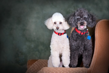 A Pair of Poodles Portrait