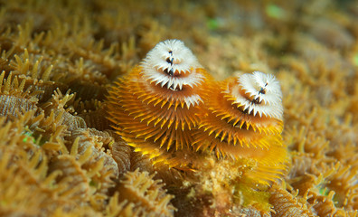 Christmas Tree Worm on a reef in south east Florida.
