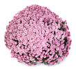 A pot of beautiful pink autumn chrysanthemums