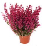 Fototapety pot of heather