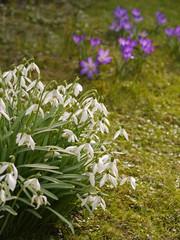Frühlingsblumen. Schneeglöckchen (Galanthus), Krokus (Crocus).