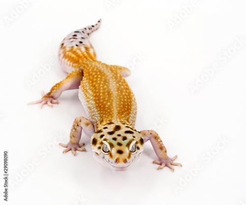 Foto op Plexiglas Luipaard leopard gecko
