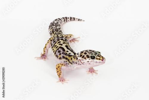 Tuinposter Luipaard leopard gecko