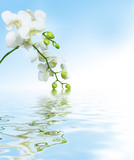 Fototapety Beautiful white orchid flowers reflected in water