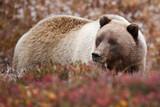 Grizzlybär im Denali National Park