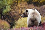 Grizzlybär Denali National Park Alaska