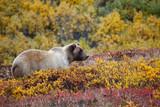 Fototapety Grizzly Denali National Park