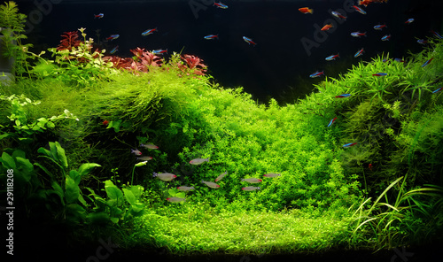 canvas print picture Nature freshwater aquarium in Amano style with little characins