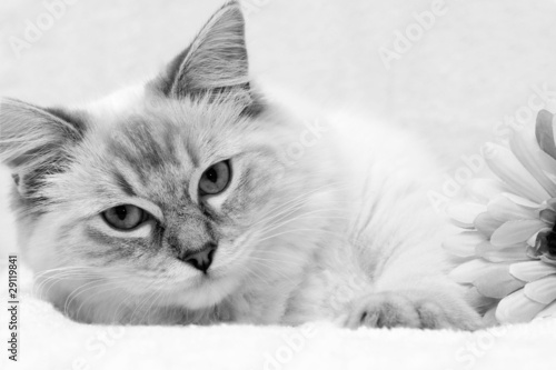 Fotobehang Lynx kitten