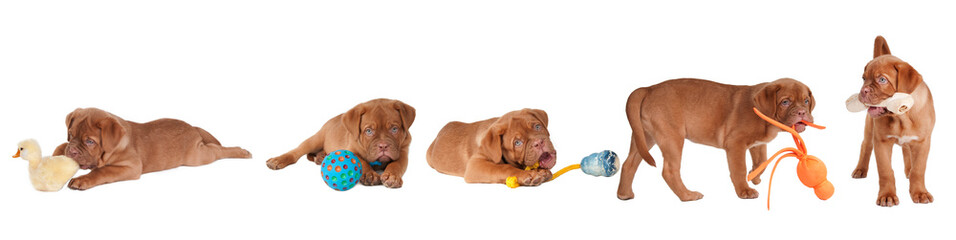 Five Dogue De Bordeaux Playing with different toys isolated