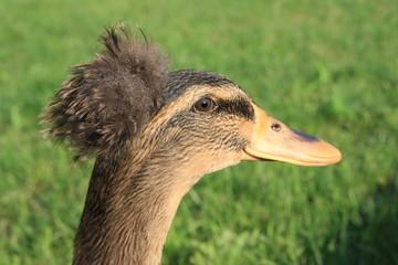 Profile of Mohawk Duck