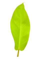 Tropical leaf isolated with clipping path