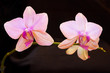 Two pink orchids