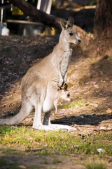 Mother and baby (kangaroos)