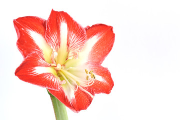 red Amaryllis Sydney isolated on white