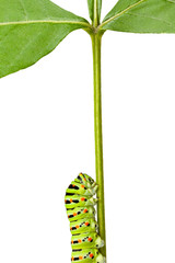 macro of caterpillar on stem