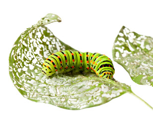Caterpillar chewing a leaf