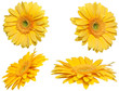gelbe Gerberas (freigestellt)