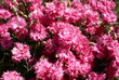 różowe płomienie 4/ pink flames 4