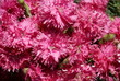 różowe kwiaty4 / pink flowers4
